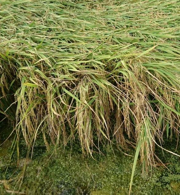 Fertilizantes y Abonos TradiRED - Encamado arroz