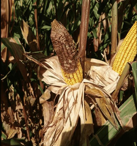 Fertilizantes y Abonos TradiRED - Fusarium Graminearum