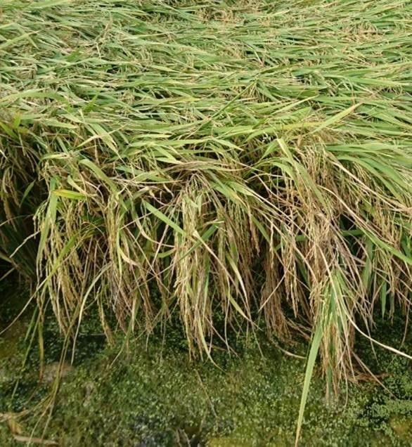 Fertilizantes y Abonos TradiRED - Encamado arroz